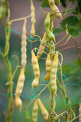 Pea beans
