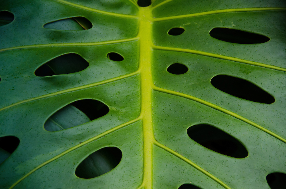 Monstera deliciosa, 'Iao Valley State Monument, Maui, Hawaii, US