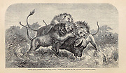 Three Lions attempting to drag down a Buffalo From the Book ' Missionary travels and researches in South Africa ' including Sixteen Years Residence in the Interior of Africa. by Dr. David Livingstone Published in New York by Harper & Brothers 1858