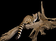 Large-spotted genet (Genetta tigrina)<br /> Marakele Private Reserve, Waterberg Biosphere Reserve<br /> Limpopo Province<br /> SOUTH AFRICA