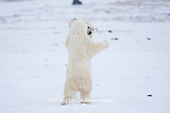 01874-11817 Polar Bears (Ursus maritimus) sparring / fighting in snow, Churchill Wildlife Management Area, Churchill, MB Canada