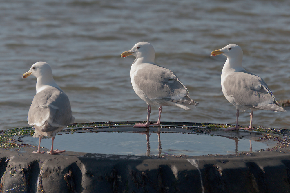 Seagulls hang out on an abandoned tire on a beach in West Seattle, Washington.  Photo by William Byrne Drumm.