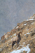 Bighorn Sheep in Yellowstone National Park.