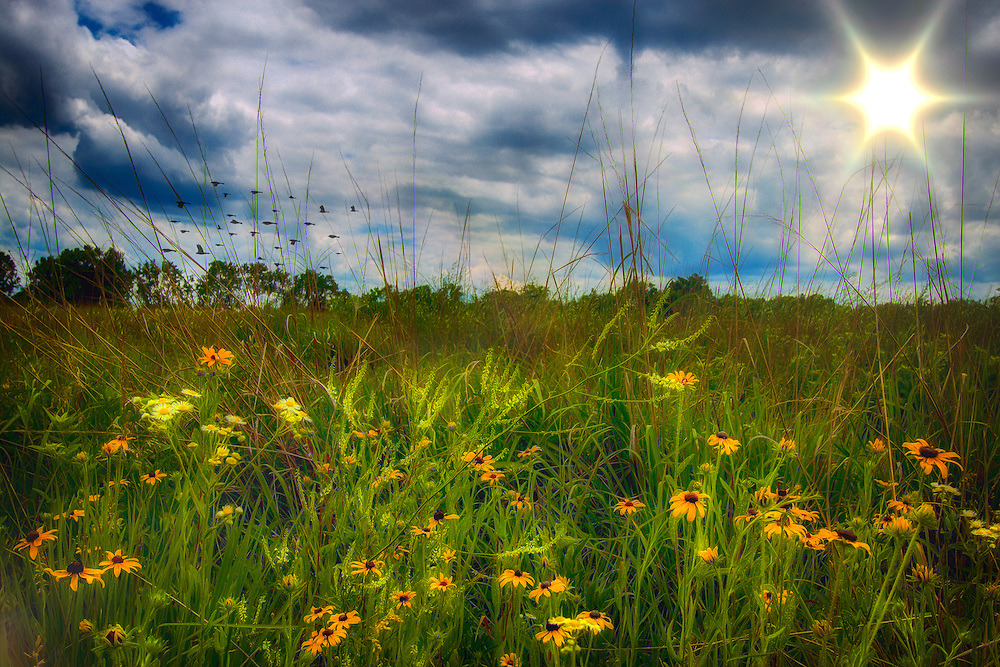 The sun rises across the field as a flock of birds pass in the distance and the morning sunshine casts a golden glow on the blooming wildflowers in the field. This shot was taken at August A. Busch Memorial Conservation Area in Saint Charles, Missouri
