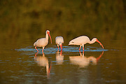 Three white ibis reflected in water while feeding