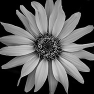This yellow flower image was blah blah boring until I changed it to black & white. Now it's one of my favorites.