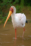 An adult Yellow-billed Stork.