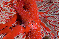 Pixy Hawkfish Perched on Gorgonian