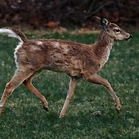 20180411-deer