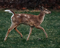 Scrubby Doe Running. Image taken with a Nikon D5 camera and 80-400 mm VRII lens (ISO 4500, 400 mm, f/5.6, 1/400 sec).