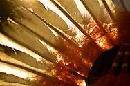 Eagle Feather Headdress, Crow Fair, Crow Indian Reservation, Montana