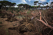 Devastation of the forest heritage caused by a tornado in the Duna Feniglia natural reserve in the municipality of Orbetello (Grosseto). The whirlwind hit the area of the Orbetello lagoon on the night of November 16-17. The event involved a total area of about 8 hectares of pine forest: at a first estimate about 1,000 domestic pine trees were eradicated and nipped. Feniglia is the strip of land that connects the Ansedonia coast to the Argentario, separating the sea from the Orbetello lagoon. Daniele Zendroni / VisiOnAir / OneShot