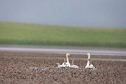 Swan family swimming in a lake, Iceland   Svanefamilie som svømmer i en sjø, Island