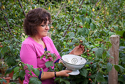 Picking raspberries into a colander