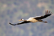 Common crane (Grus grus) in flight. Large migratory crane species that lives in wet meadows and marshland. It has a wingspan of between 2 and 2.5 metres. It spends the summer in northeastern Europe and western Asia, and overwinters in north Africa. It feeds on vegetation, insects, frogs and snakes. Photographed in the Hula Valley, Israel, in March