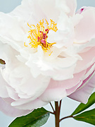 Paeonia lactiflora 'Kelway's Fairy Queen' - peony