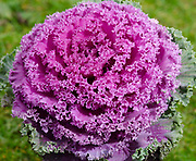 Close-up of a colourful Ornimental kale or Flowering cabbage (Brassica oleracea) growing in a garden in Norfolk