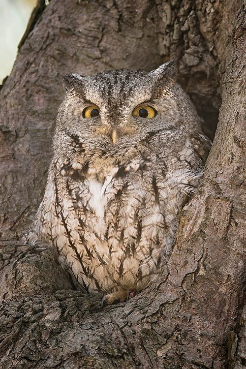 """Eastern screech owl peers out from the tree hole. <br /> <br /> Available sizes:<br /> 18"""" x 12"""" print or canvas print<br /> <br /> See Pricing page for more information. Please contact me for custom sizes and print options including canvas wraps, metal prints, assorted paper options, etc. <br /> <br /> I enjoy working with buyers to help them with all their home and commercial wall art needs."""