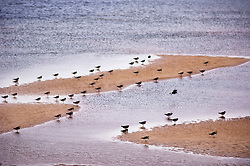 Dunlin feeding at low tide, North Norfolk Coast, England, UK.
