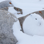Arctic hare (Lepus arcticus) huddled near a rock in the snow. Churchill, Manitoba, Canada