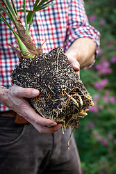 Showing an example of a good strong root system on a container grown plant