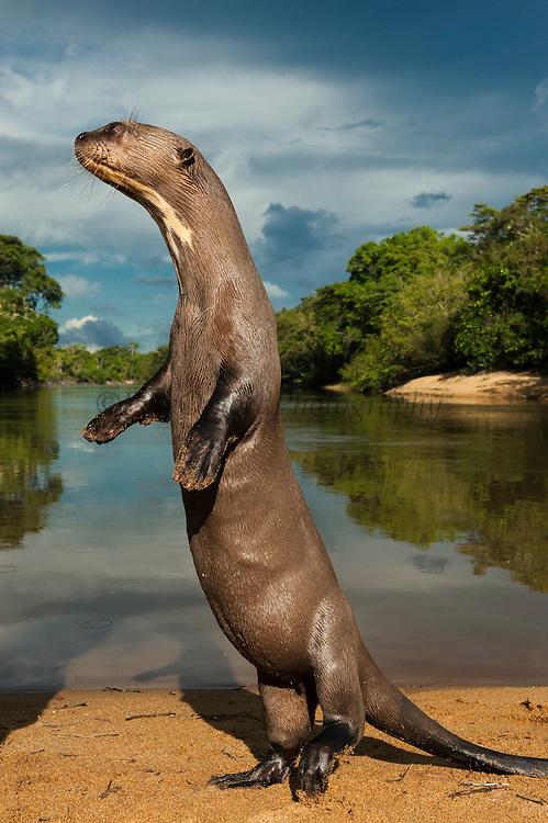 Giant Otter (Pteronura brasiliensis) CAPTIVE<br /> Karanambu Otter Trust<br /> Rupununi<br /> GUYANA<br /> South America