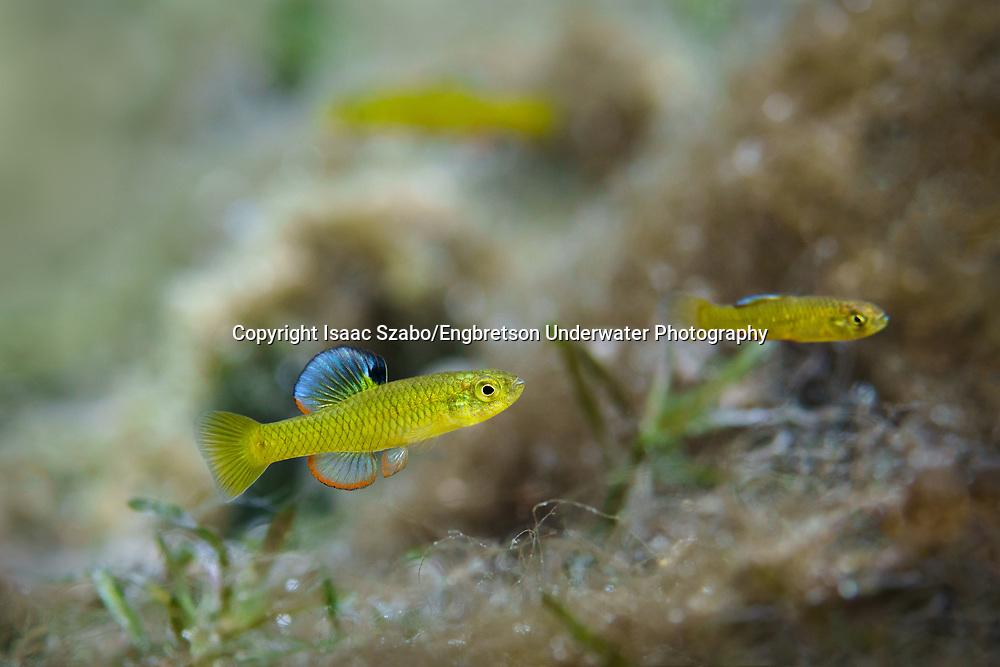 Rainwater Killifish<br /> <br /> Isaac Szabo/Engbretson Underwater Photography