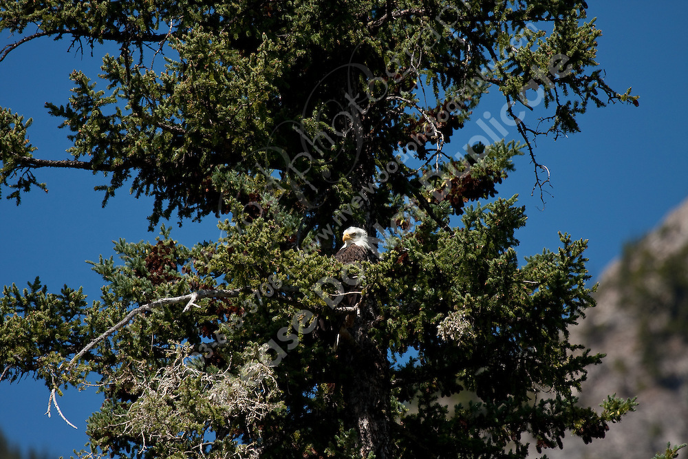 We rented a canoe in Banff and paddled into the first Vermillion lake.  We were lucky to see a large adult Eagle perched in tree...©2009, Sean Phillips.http://www.Sean-Phillips.com