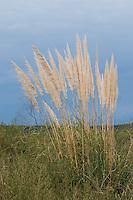 CORTADERA (Cortaderia selloana)