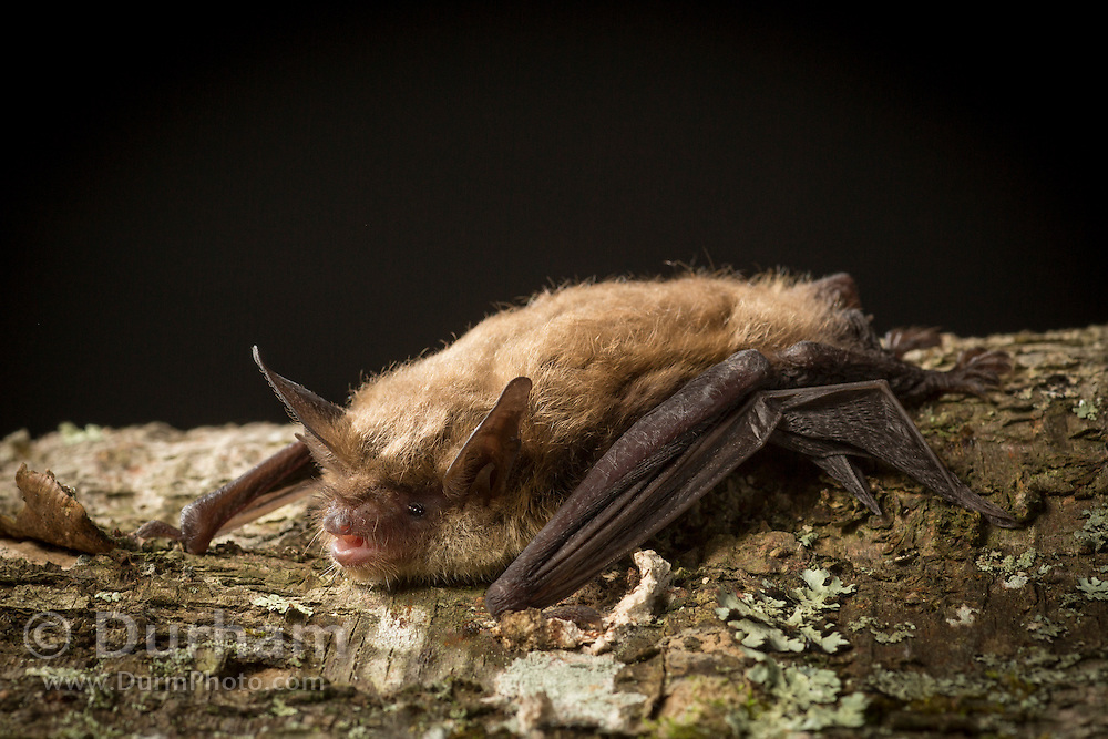Male northern long-eared myotis (Myotis septentrionalis) on a birch tree. Photographed in the north Cherokee National Forest, Tennessee.