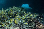 Blue-striped Snapper (Lutjanus viridis)<br /> Devil's Crown<br /> Galapagos<br /> Ecuador, South America<br /> Pacific Ocean<br /> ENDEMIC