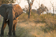View of lone elephant (Loxodonta africana) in savannah in Hlane Royal National Park, Eswatini