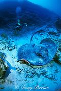 marbled or blotched ribbontail ray, Taeniura meyeni, or Taeniura melanospilos, Layang Layang Atoll, Malaysia  ( South China Sea )  MR 265