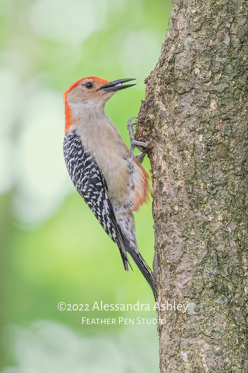 Male red-bellied woodpecker spiraling tree in search of insects to feed on. The red wash on bellly feathers that gives this woodpecker its name is visible.