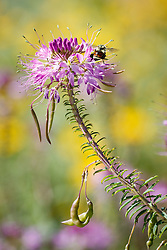 Hunt's bumble bee (Bombus huntii) on Rocky Mountain bee plant, Vermejo Park Ranch, New Mexico, USA.