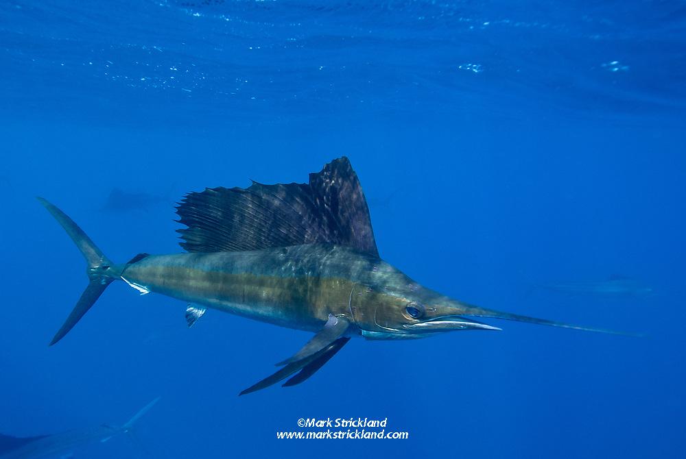 Atlantic sailfish, Istiophorus albicans, Istiophorus platypterus, Isla Mujeres, Yucatan Peninsula, Mexico, Caribbean Sea, Atlantic Ocean