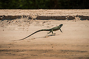 Green Iguana (Iguana iguana)<br /> Northern Pantanal<br /> Mato Grosso<br /> Brazil<br /> Running from jaguar