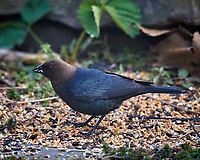 Male Brown-headed Cowbird feeding. Image taken with a Nikon D5 camera and 600 mm f/4 VR lens (ISO 1600, 600 mm, f/5.6, 1/320 sec).
