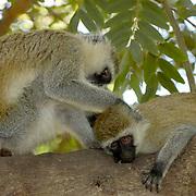 Vervet monkey (Cercopithecus aethiops) Couple grooming each other near Samburu Intrepids Camp in tree. Kenya. Africa.