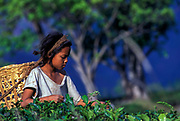 A Nepali migrant child worker picks tea on a Darjeeling plantation