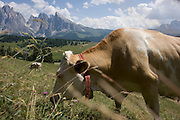 Grazing cows on the Siusi plateau, above the South Tyrolean town of Ortisei-Sankt Ulrich in the Dolomites, Italy.