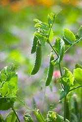 Peas. Pisum sativum