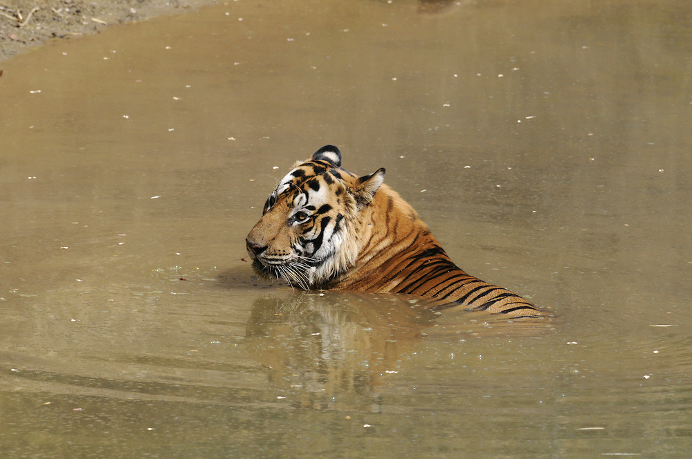 Tiger Panthera tigris Length 3m. The world's largest cat species. Recognised by orange-brown fur that is marked with dar, vertical stripes. Formerly widespread across Asia but population now decimated by habitat loss and hunting