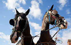 © Licensed to London News Pictures. 10/03/2012..Cleveland, England..Riders and spectators arrive at Thrushwood Farm on Teesside at the start of the Cleveland hunt...Photo credit : Ian Forsyth/LNP