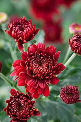 Chrysanthemum 'Payton Blaze'