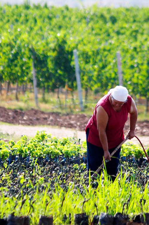 The winery's own vine nursery. Women watering and tending to the young plants. Thousands of vines. Hercegovina Vino, Mostar. Federation Bosne i Hercegovine. Bosnia Herzegovina, Europe.