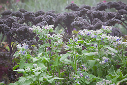 Borago officinalis with Kale 'Red Bor'. Borage