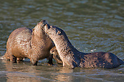 Alaska. Northern River Otters (Lontra canadensis) longing on river ice, Seward.