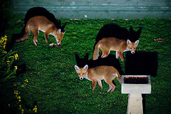 Red fox adult and cubs (vulpes vulpes) forage for food in a city garden at night, Birmingham, England, UK.