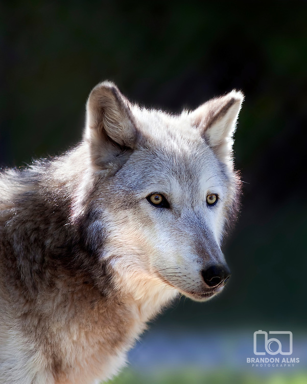 A close up shot of a Gray Wolf (Canis lupus).